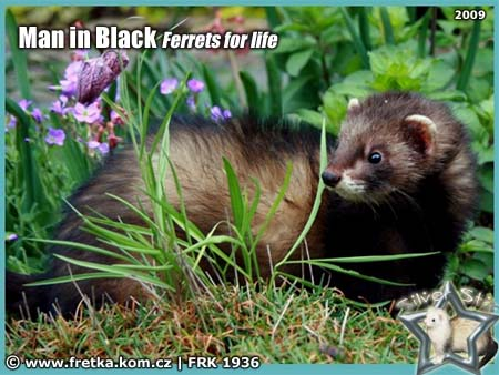fretka Man in Black Ferrets for life
