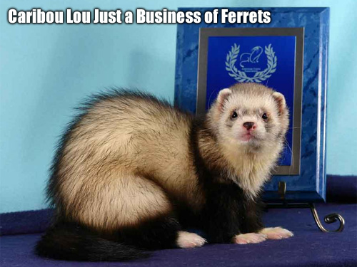 fretka Caribou Lou Just a Business of Ferrets